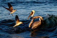 Brown Pelican Fish Feeding