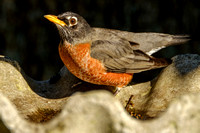 Amercian Robin Photography