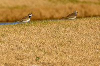 Killdeer in Gulf Shores