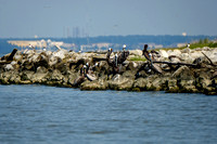 Brown Pelicans at Gaillard Island Mobile Bay