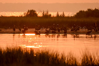 Brown Pelicans in Mobile Bay | Gaillard Island