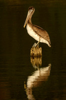 Pelicans on the Causeway 11-Dec-16
