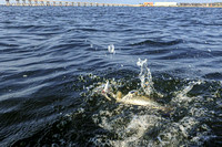 Speckled Trout in Gulf Breeze