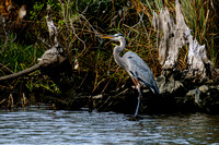 Great Blue Heron in Fish River