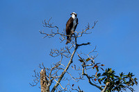 Osprey in Baldwin County