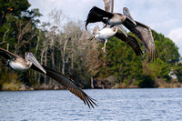 Brown Pelicans in Baldwin County