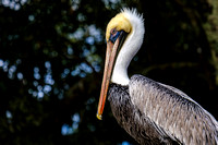 Magnolia River Brown Pelican