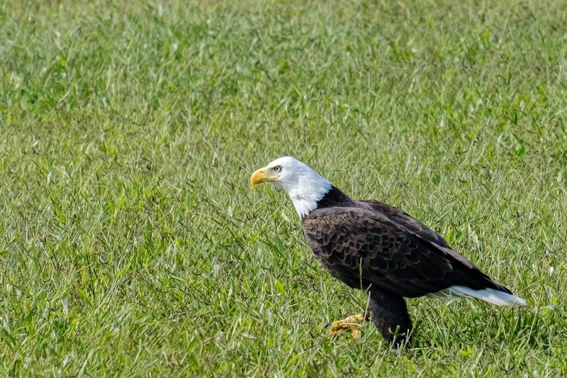 Baldwin County Bald Eagles