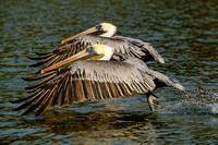 Brown Pelican Photography