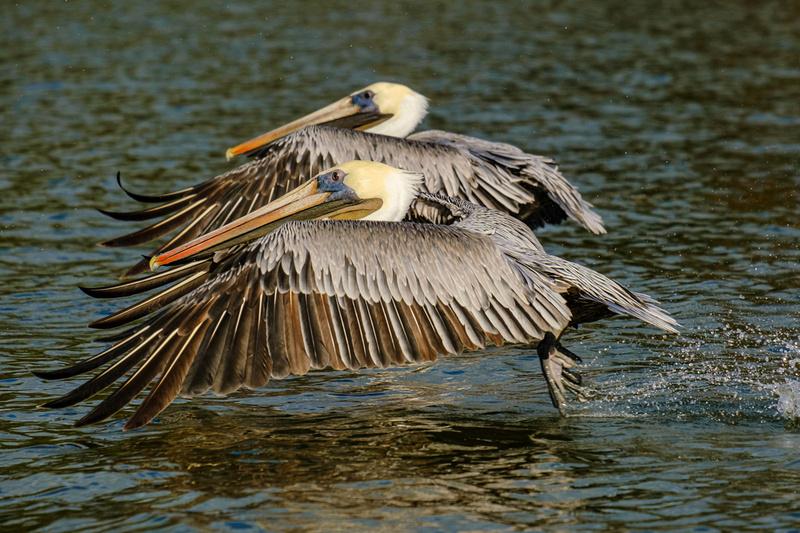 Brown Pelican Photography