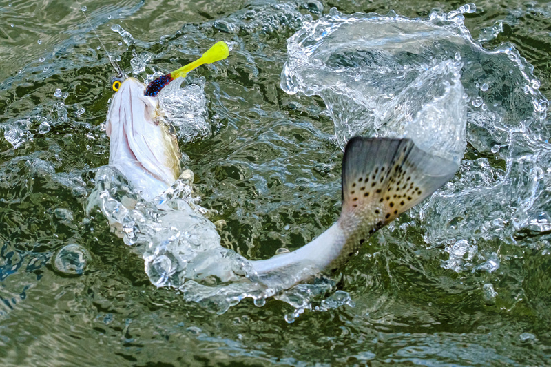 speckled trout action photography