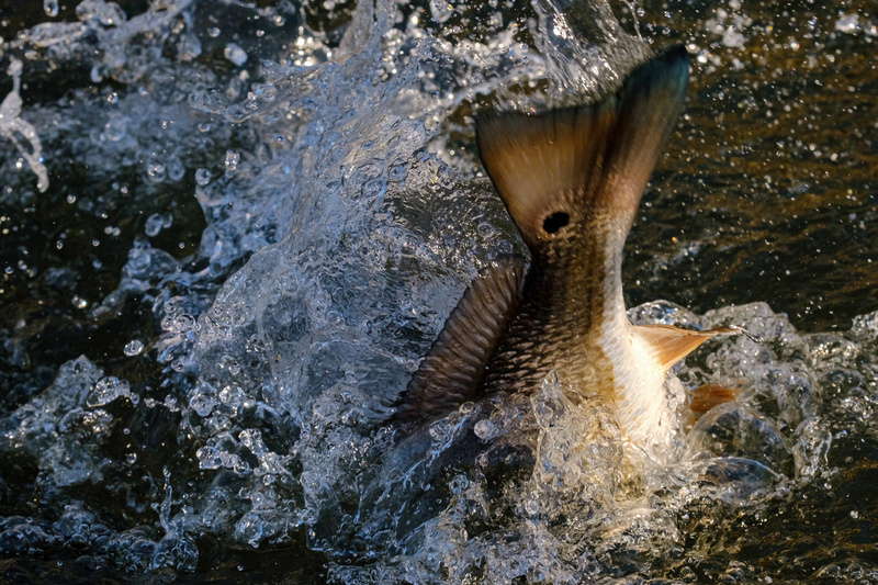 Speckled Trout Redfish Palmetto Creek