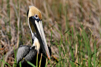 Pelicans in Fish River