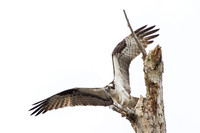 Osprey in Orange Beach