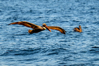 Pelican Feeding Frenzy-Gulf Shores 29-Feb-16