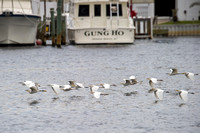 Snowy Egrets in Orange Beach
