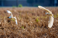 Cattle Egrets in Baldwin County