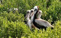 Adult and Juvenile Brown Pelicans