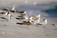 Colony of Black Skimmers