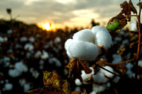 Cotton Field Sunrise