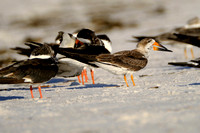 Black Skimmers on the Gulf Coast