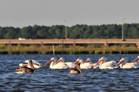 Brown and White Pelicans in Mobile Bay