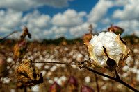 Cotton Field in Robertsdale