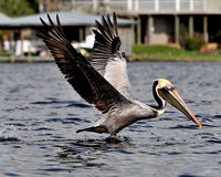 Pelicans on Fish River