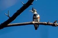 Kingfisher in Mobile Bay