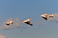 White Pelicans in Mobile Bay