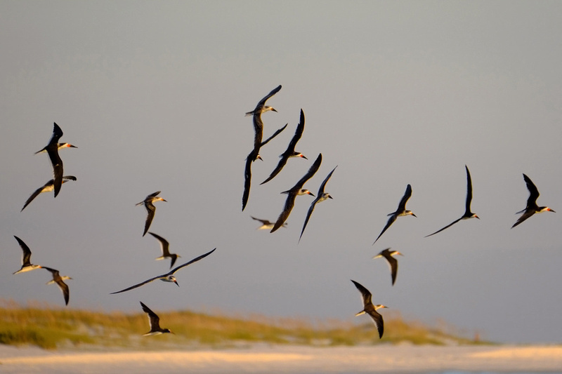 Black Skimmers Flying