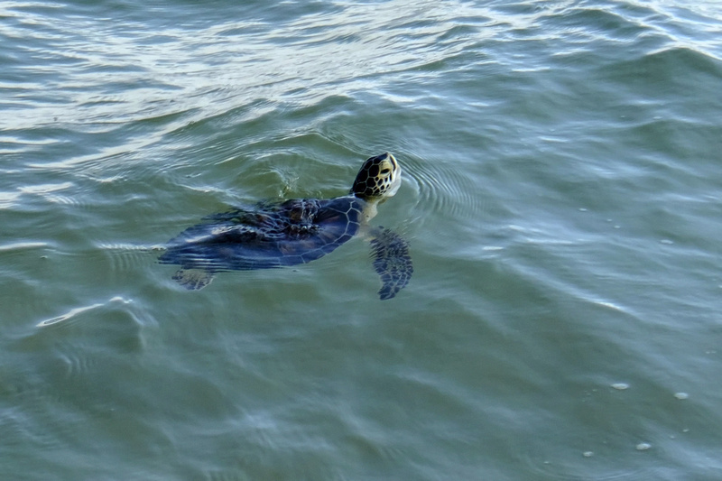 Green Sea Turtle in Gulf Shores