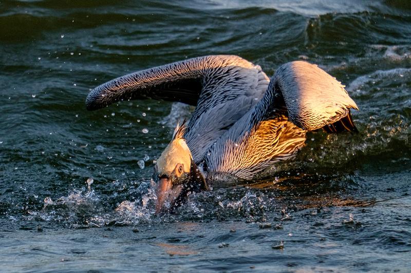 Brown Pelican Fish Feeding