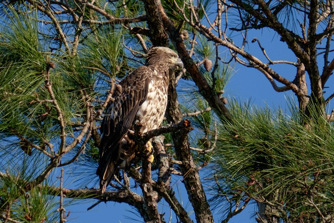 Bald Eagle Perdido Key