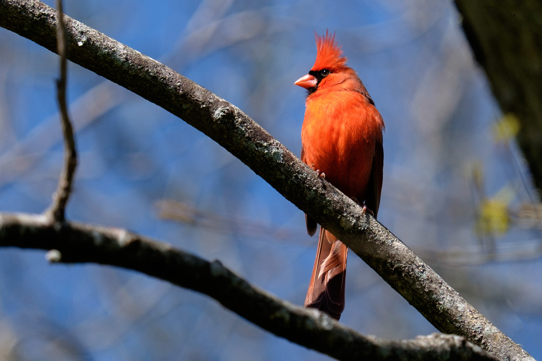Male Cardinal Wildlife Photography