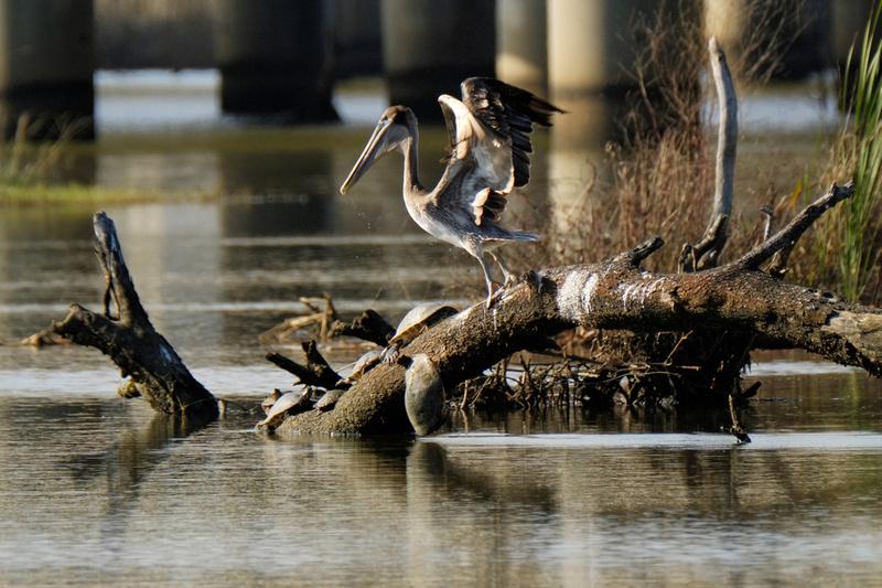 Pelican in Daphne