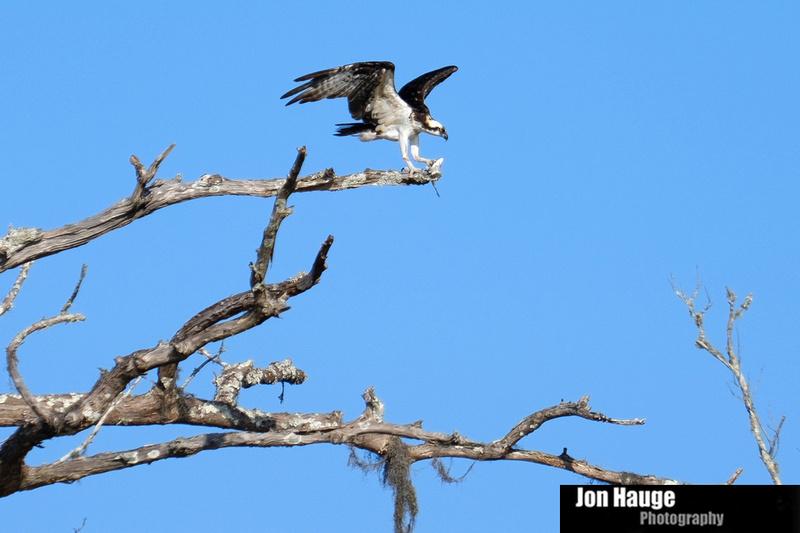 Osprey in Raft River