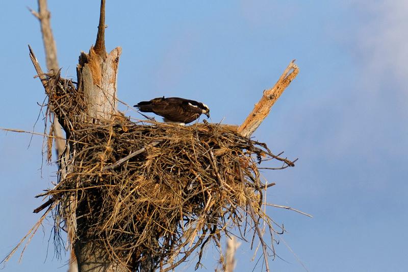Nesting Osprey in Fort Pickens