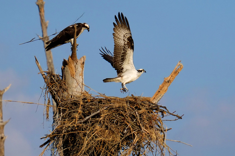 Nesting Osprey in Fort Pickens