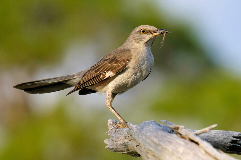 Mockingbird in Fort Pickens