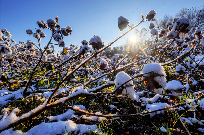 Snow in Cotton Field Baldwin County Photographer