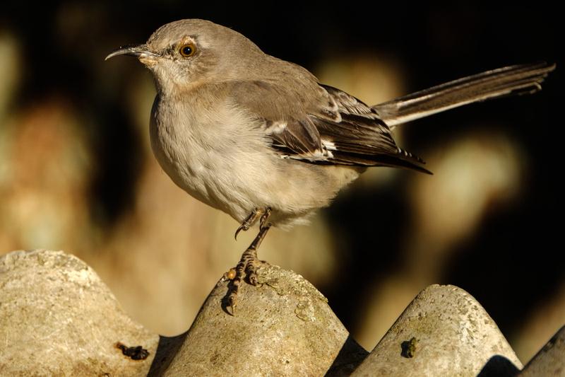 Mockingbird Photography