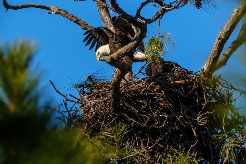 Eagles in Gulf Shores
