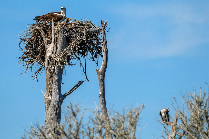 Nesting Osprey on the Gulf Coast