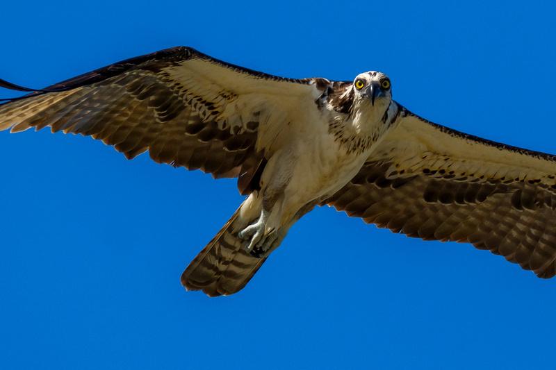 Soaring Osprey Photograph