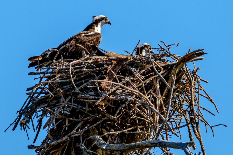 Osprey on Their Nest