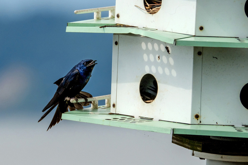 Purple Martins in Fairhope