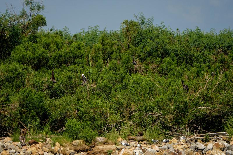 Nesting Brown Pelicans at Gaillard Island