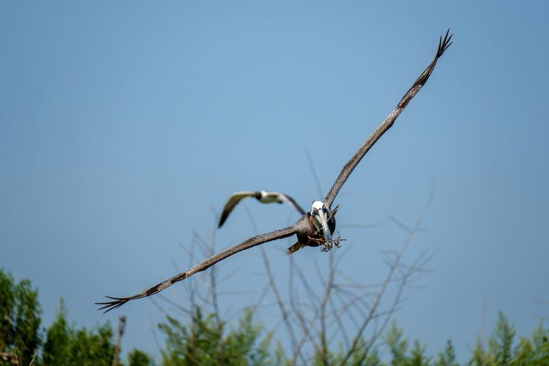 Brown Pelicans at Gaillard Island