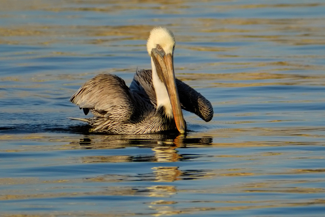 Swimming Brown Pelican on the Causeway